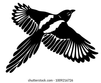 Beautiful Magpie with large wings.