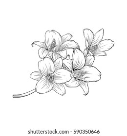 beautiful monochrome black and white bouquet lily isolated on background. Hand-drawn. design greeting card and invitation of holiday.