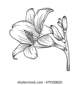 Beautiful monochrome black and white lily isolated on white background. Hand-drawn contour line. for greeting cards and invitations of wedding, birthday, mother's day and other seasonal holiday