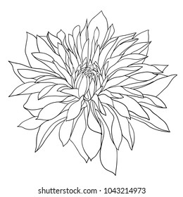 Dahlia Flower Drawing Hd Stock Images Shutterstock