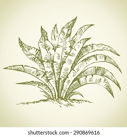 Beautiful old summer juicy green big lush thick Asplenium australasicum. Vector freehand linear ink drawn backdrop sketchy in art scribble antique style pen on paper view close-up with space for text
