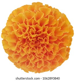 Beautiful orange marigold flower vector eps 10