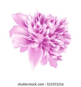 Beautiful Peony flower isolated on white background. Vector illustration. EPS 10
