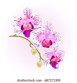 Beautiful  Phalaenopsis  Orchid purple and white  stem with flowers and  buds closeup  vintage  vector editable illustration hand draw