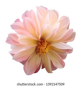 Beautiful pink dahlia on white background. Photo-realistic gradient mesh vector illustration.