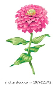 Beautiful pink zinnia flower isolated on white background. Botanical vector