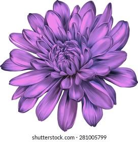 Beautiful purple pink chrysanthemum flower isolated on white background. Vector illustration