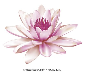 A beautiful realistic illustration of a pastel pink lily or lotus isolated on white background close up. Photo-realistic mesh vector illustration.