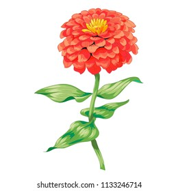 Beautiful red flower zinnia isolated on white background. A large bud and inflorescence on a stem with green leaves. Botanical vector Illustration