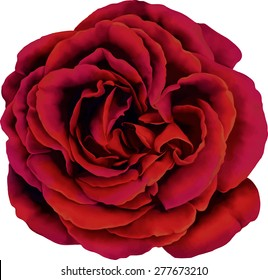 Beautiful red Rose Flower isolated on white background. Vector illustration