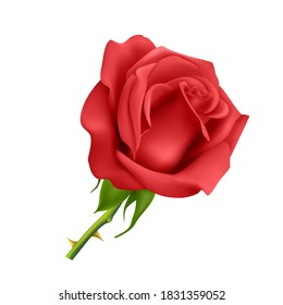 Beautiful red rose Isolated on white background. Photo-realistic gradient mesh vector eps 10 illustration.