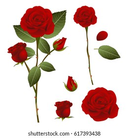 Beautiful Red Rose - Rosa. Valentine Day. Vector Illustration. isolated on White Background.
