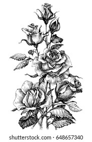 Beautiful roses bouquet. Hand drawn vector