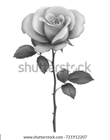 Beautiful Sexy Black White Rose Stem Stock Vector Royalty Free