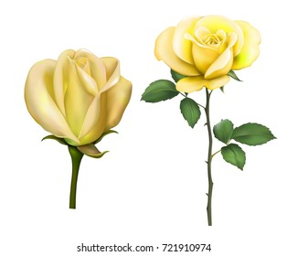Beautiful sexy yellow rose with stem and leaves Isolated on white background. Photo-realistic gradient mesh vector illustration of two roses.