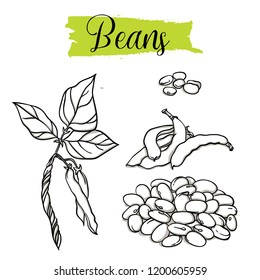 Beautiful vector hand drawn Beans organic, haricot. Organic food, vector doodle illustrations collection isolated on white background.