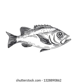 Beautiful vector hand drawn lavender fish Illustration. Detailed retro style redfish image. Vintage sketch element for labels, packaging and cards design. Modern background.