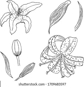 Lily Line Art Hd Stock Images Shutterstock