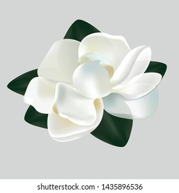 Beautiful vector magnolia flower with leaves isolated on a white background. Trees blossom