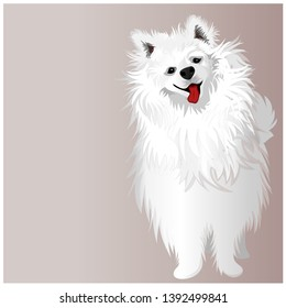 Beautiful, white dog breed Samoyed dog, Samoyed.