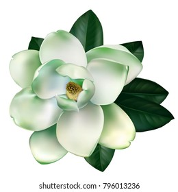 Beautiful white, light green magnolia flower with leaves isolated on a white background. Vector.