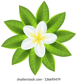 Beautiful white tropical flower. Vector illustration for your fresh romantic design. Frangipani plumeria with leaves isolated on white.