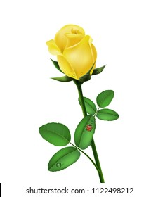 Beautiful yellow rose isolated with morning dew and ladybug on white background, flower gift, garden flower, rose bud, 3d design. Vector illustration.