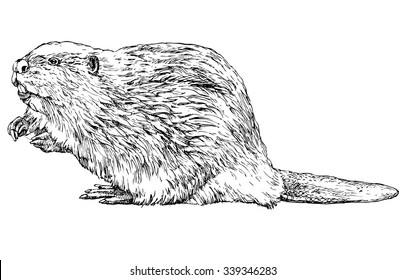 Beaver - hand drawn vector illustration, isolated on white