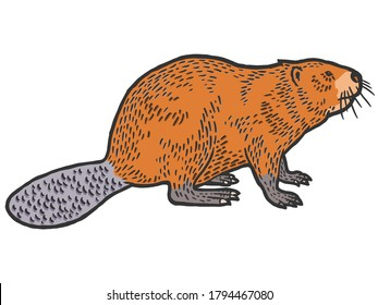 Beaver rodent mammal. Scratch board imitation. Color engraving vector