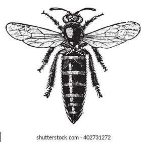 Bee mother, vintage engraved illustration. Industrial encyclopedia E.-O. Lami - 1875.