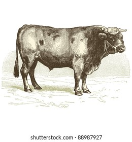 "The beef - Vintage engraved illustration - ""Cent récits d'histoire naturelle"" by C.Delon published in 1889 France"