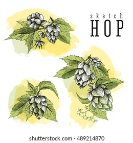 Beer hop set of 3 hand drawn hops branches with leaves, cones and flowers, color sketch and engraving design. All element isolated, common hop.