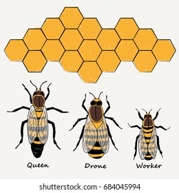 BEES ,QUEEN, DRONE AND WORKER illustration vector