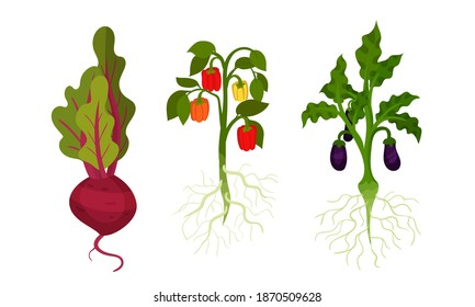 Beet and Eggplant as Fresh Vegetables with Rootstock and Top Leaves Vector Set