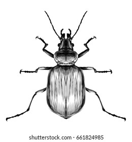 beetle top view of a symmetrical sketch vector graphics black and white drawing