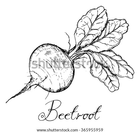Beetroot Leaves Vintage Retro Woodcut Radish Stock Vector Royalty