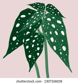 Begonia maculata wightii. Hand-drawn vector illustration with unusual indoor plant for your design.