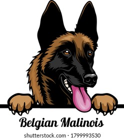 Belgian Malinois - Color Peeking Dogs - breed face head isolated on white