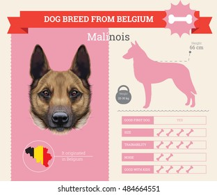 Belgian Malinois dog breed vector info graphics. This dog breed from Belgium