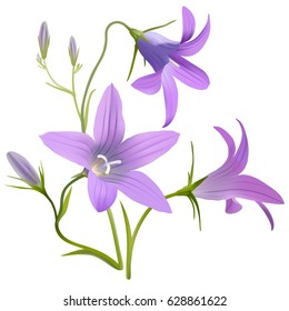 Bell flower - Campanula patula. Hand drawn vector illustration of a wildflower in realistic style, on white background.