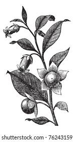 Belladona or Deadly Nightshade or Atropa belladonna, vintage engraving. Old engraved illustration of Belladona plant showing flowers.