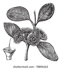 Bell-fruited Mallee or Eucalyptus preissiana, vintage engraving. Old engraved illustration of a Bell-fruited Mallee showing flowers and fruit (lower left).  Trousset encyclopedia (1886 - 1891)