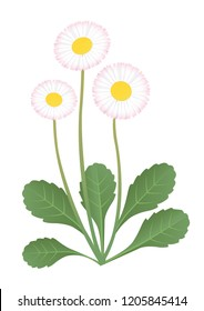 Bellis perennis. Vector illustration of daisy flower