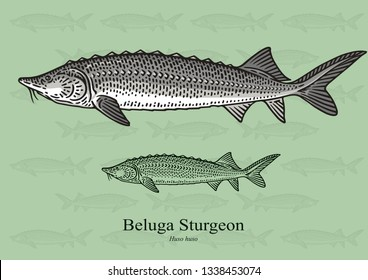 Beluga Sturgeon. Vector illustration with refined details and optimized stroke that allows the image to be used in small sizes (in packaging design, decoration, educational graphics, etc.)