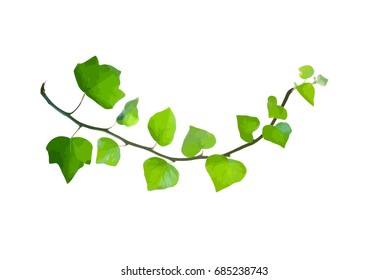 Bent green twig of ivy isolated on white, vector illustration
