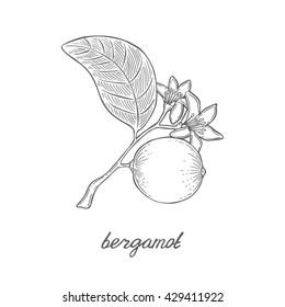 Bergamot branch. Citrus vector hand drawn illustration. Flower, fruit and leaf. Engraving style. Vintage sketch. White background.