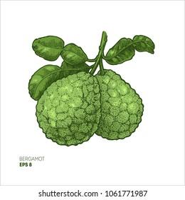 Bergamot colored illustration. Engraved style illustration. Kaffir Lime. Vector illustration