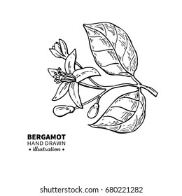 Bergamot flower branch vector drawing. Isolated vintage  illustration of citrus blooming flower. Organic fruit. Essential oil engraved style sketch. Beauty and spa, cosmetic label and tea ingredient.