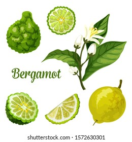 Bergamot orange fruit vector botanical illustration of whole and cut slice fruits with blossom. Bergamot or kaffir lime citrus design for herbal tea and essential oil product package