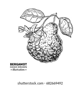 Bergamot vector drawing. Isolated vintage  illustration of citrus fruit with flower on branch. Organic food. Essential oil engraved style sketch. Beauty, spa, cosmetic label and tea ingredient.